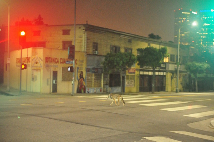 C-144 crosses a Los Angeles street in the early hours of the morning. Photo: National Park Service