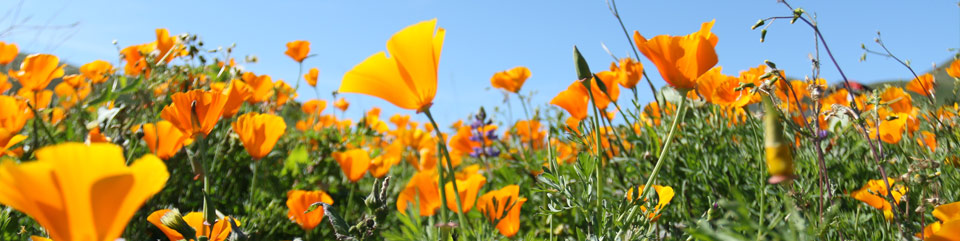 A lush field of bright orange California poppies against a cloudless blue sky