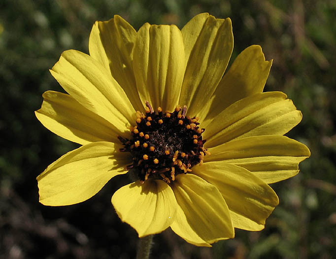 Garden with nature program - Bush Sunflower - Dec 9th