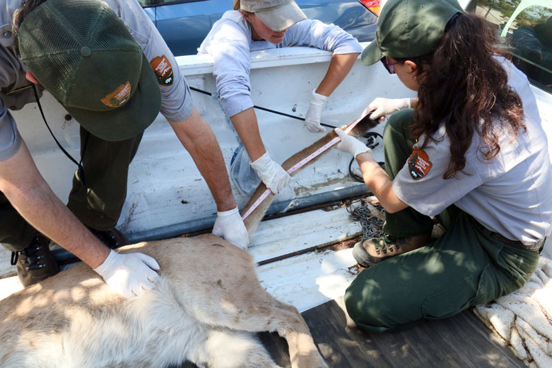 National Park Service biologists perform measurements during P-32's necropsy.