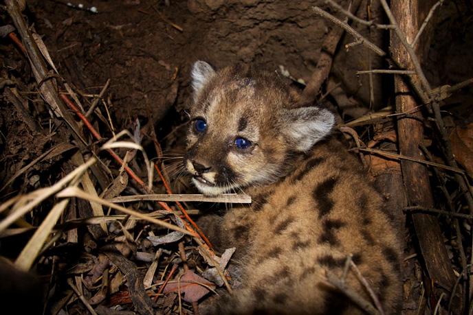 Meet Our Study's Newest Mountain Lion Kittens! - Santa Monica ...