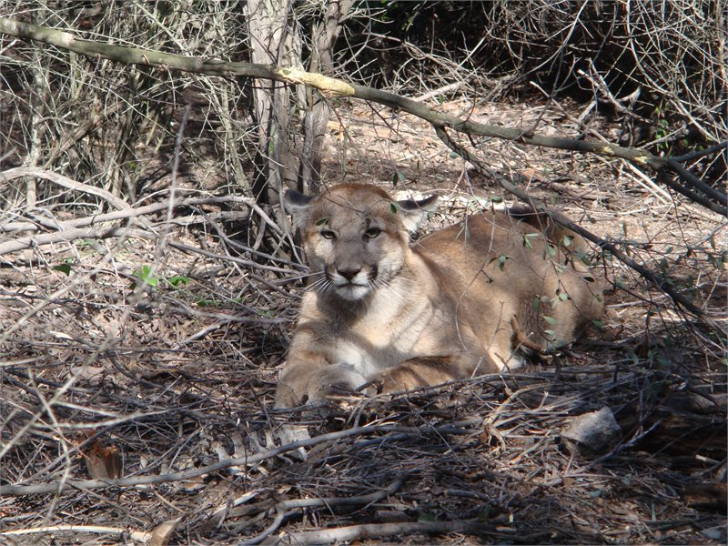 Mountain lion sitting on the ground in the shade.