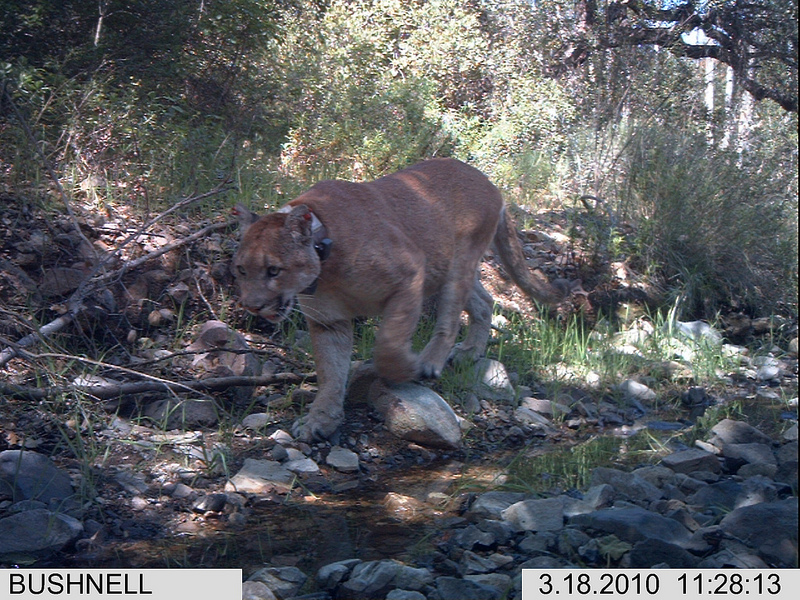Mountain lion with collar walking along a stream