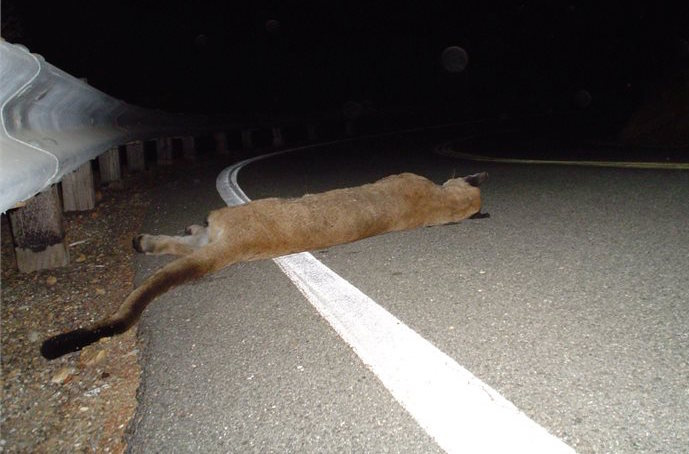 Deceased mountain lion on the side of the road at night