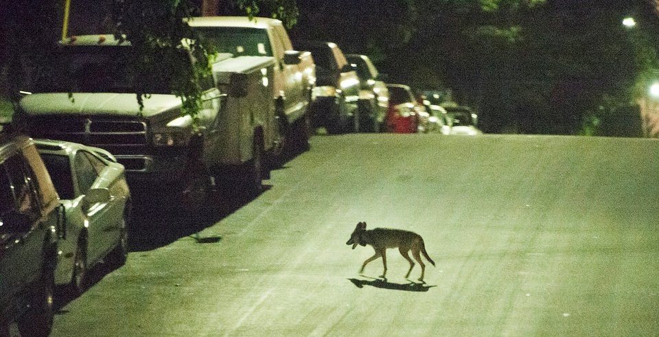 A coyote crosses a street near downtown Los Angeles.