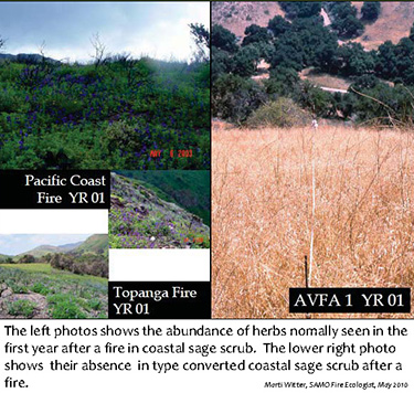 The left photos shows the abundance of herbs normally seen in the first year after a fire in coastal sage scrub. The lower right photo shows their absence in type converted coastal sage scrub after a fire.