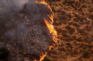 Fire moves through sagebrush during a wildland fire.