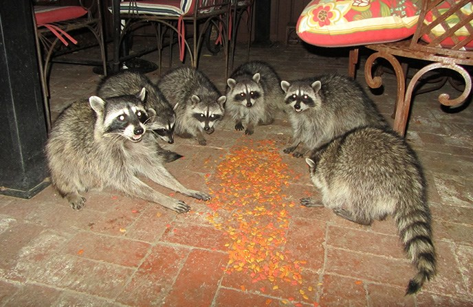 Six raccoons eating pet food on the patio floor.