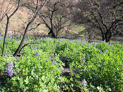 Lupine blooms post fire in the Santa Monica Mountains.