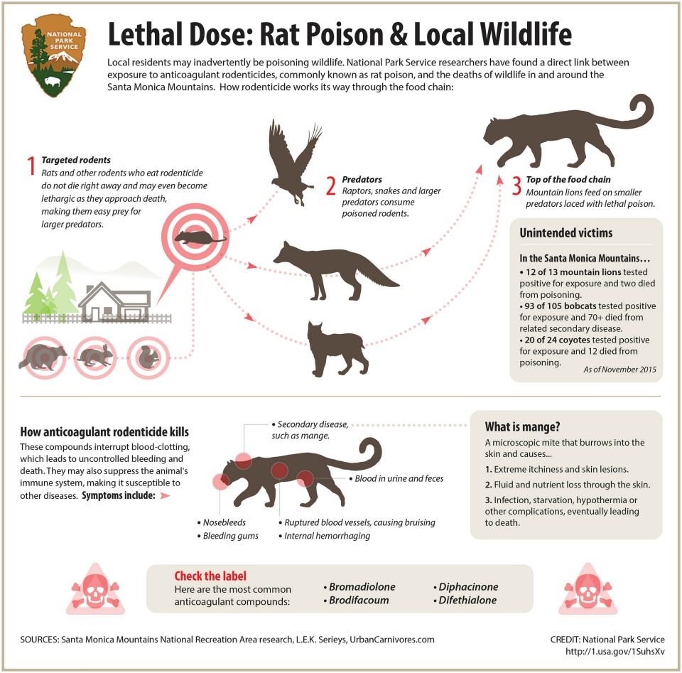 Shows how anticoagulant rodenticide, commonly known as rat poison, can work its way up the food chain.