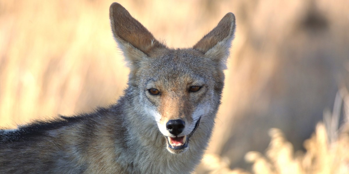 A close-up photo of a coyote in a field.