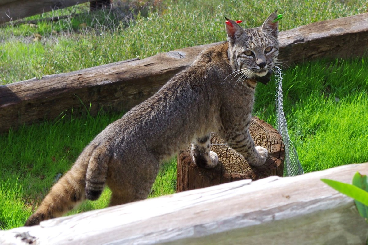 Backyard bobcat santa monica mountains