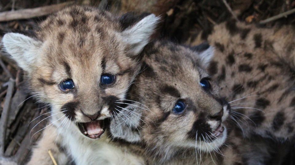Mountain Lion Kittens P-57 and P-58