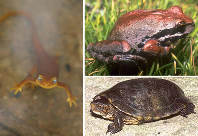 Left: California Newt, NPS photo Top Right: Baja California Tree Frog, NPS photo Bottom Right: Western Pond Turtle, USGS photo