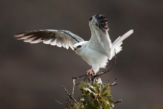 A White-tailed Kite raises its wings on a perch.