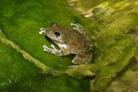 California Treefrog