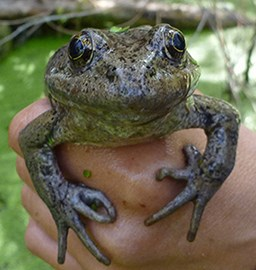A researcher holds an adult California red-legged frog in hand.