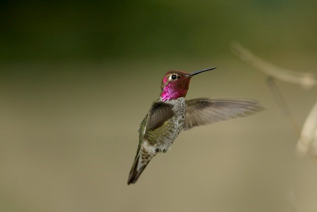 Male Anna's Humbinbird by John Emerson1
