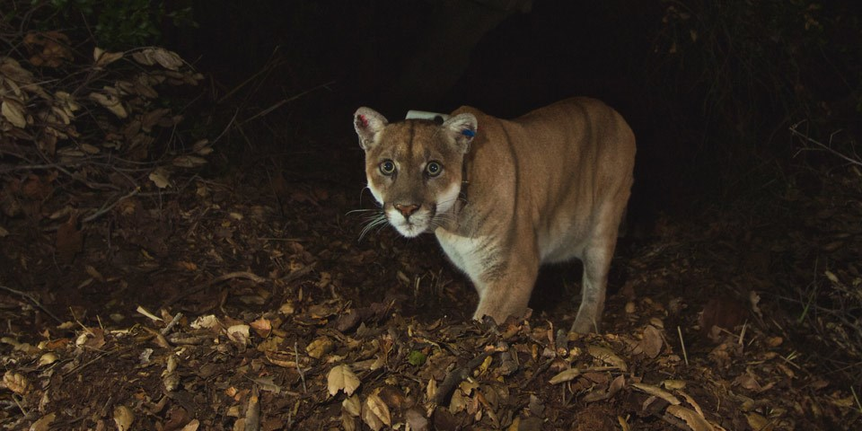 A mountain lion with a radio collar looks directly at the remote camera