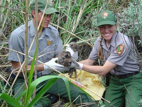 Wildlife technicians handle a bobcat kitten captured in the field.