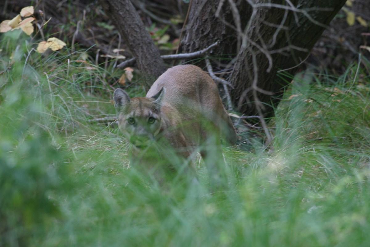 Mountain lion walking in the grass and trees. P-2