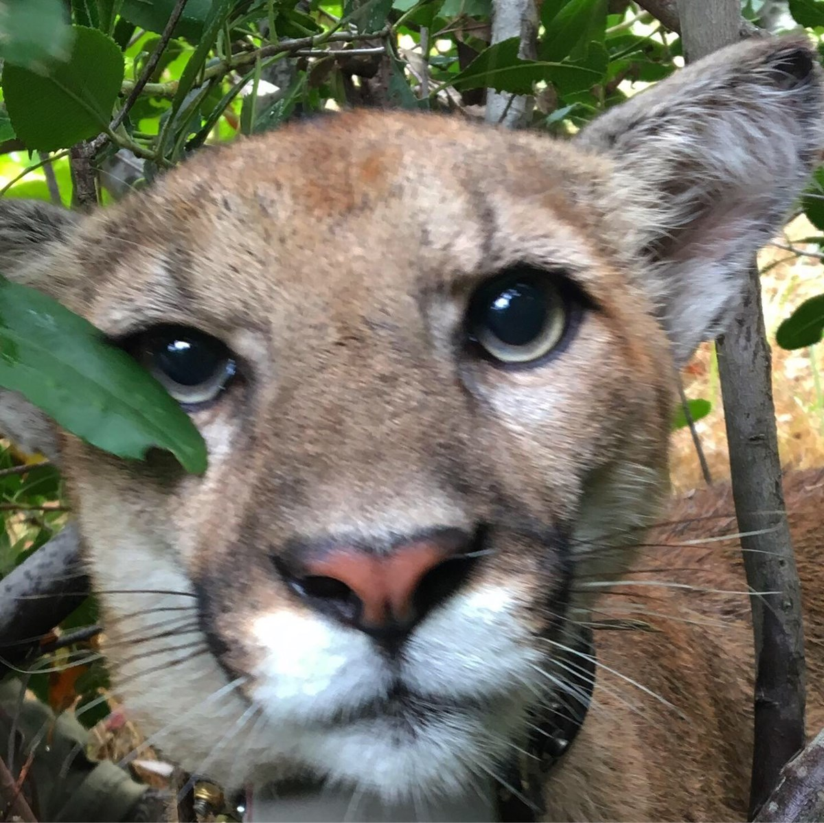 P-75 mountain lion