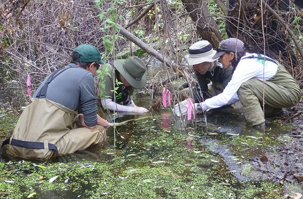 A group of biologists kneel in a stream to extract egg masses for relocation.