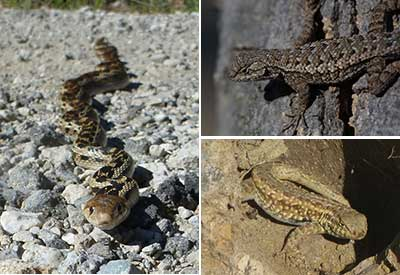 Left: gopher snakeTop right: fence lizardBottom right: side-blotched lizard.