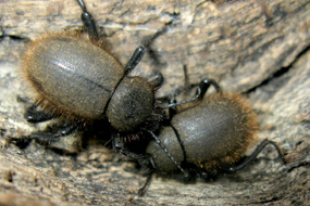 Close up image of two woolly darkling beetles on wood