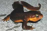 California newt (Tarich torosa), Santa Monica Mountains