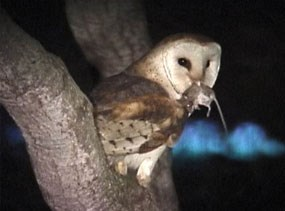 Barn owl with mouse