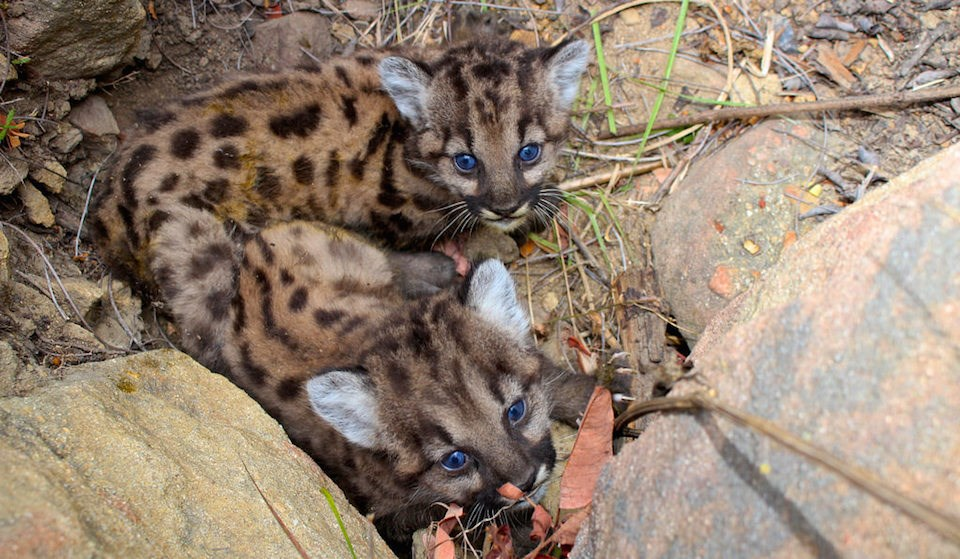 Mountain lion kittens P-59 and P-60