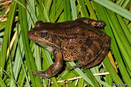 California Red-legged Frog