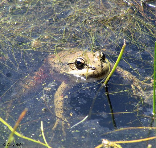 CA red legged frog