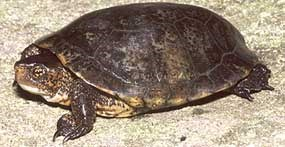 Western pond turtle (Clemmys marmorata)