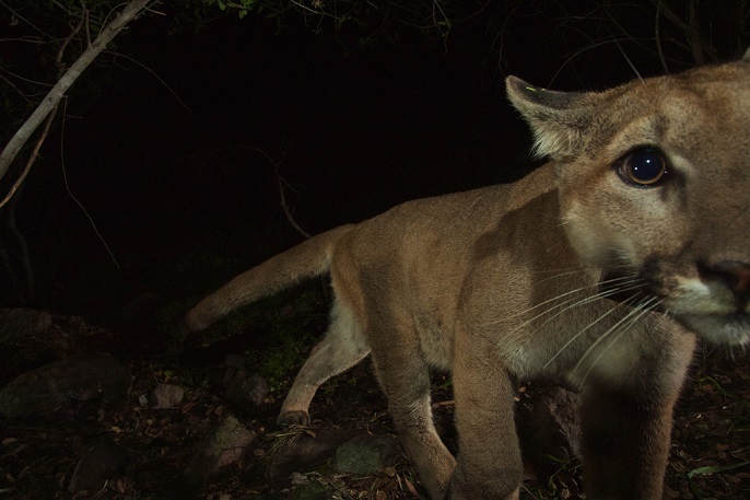 close up of a mountain lion