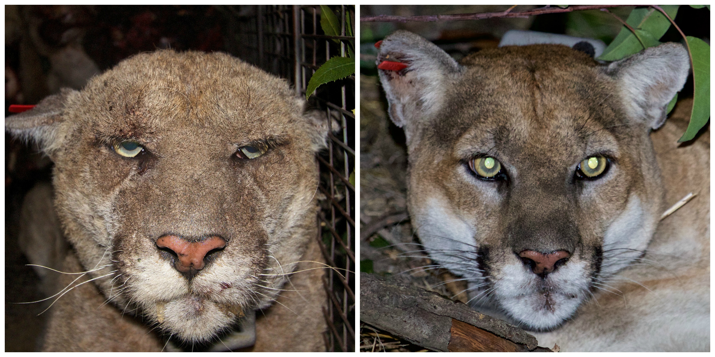 Mountain lion P-22 before and after mange disease