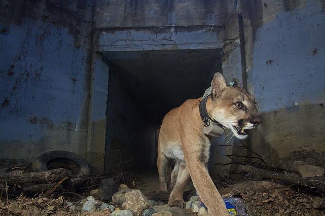 Mountain Lion Survives Flames cca9599a2fa