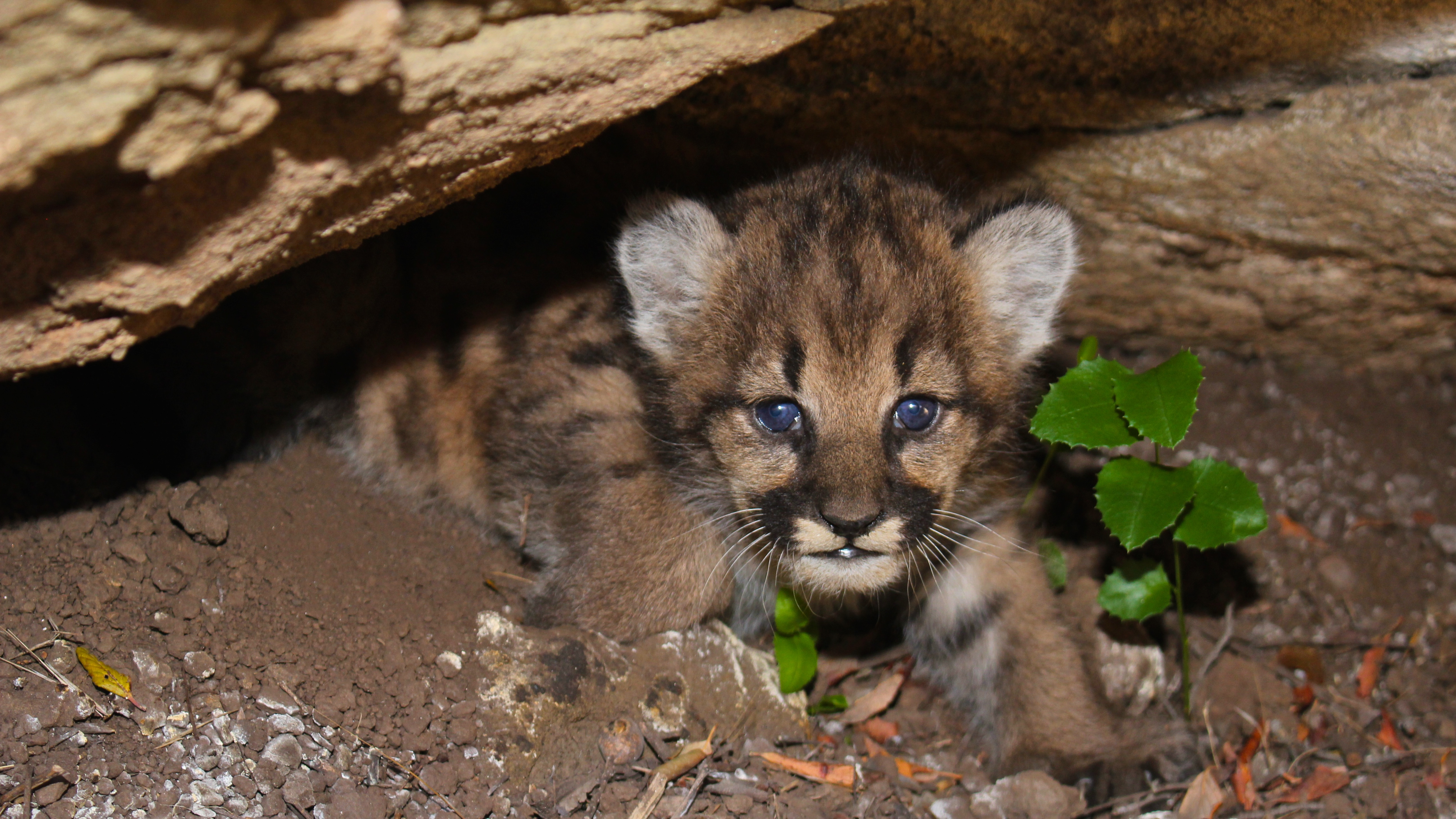 mountain lion kitten