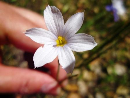 A visitor holds a white flower with 6 pointed petals that has a yellow center up close to the camera.