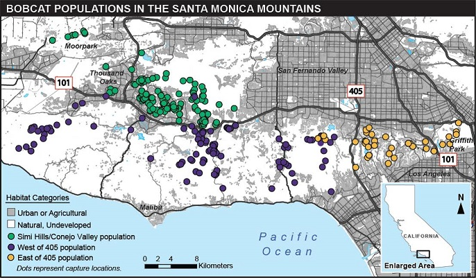 Color coded map showing where bobcat populations are located in the Santa Monica Mountains