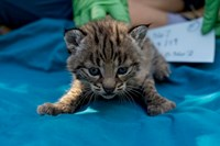 Bobcats: Living on the Urban Edge - Santa Monica Mountains