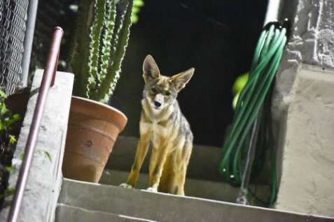 Coyote on porch