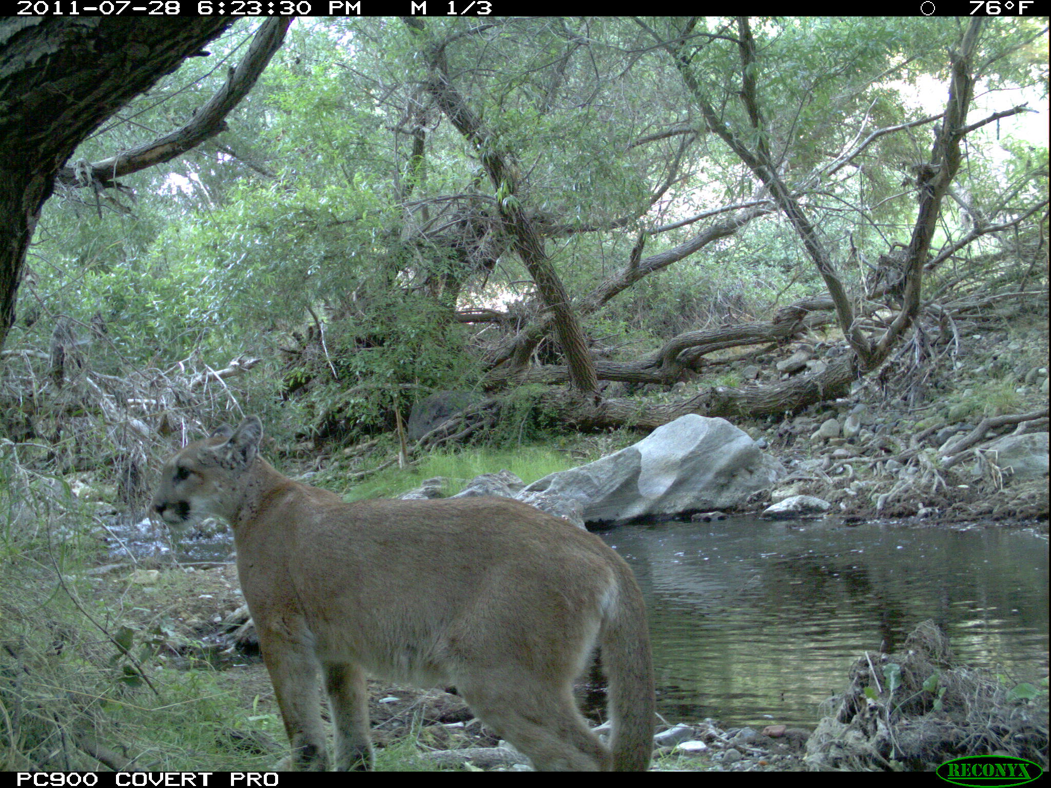 P-18 captured on remote camera shortly after becoming independent from his mother. NPS photo