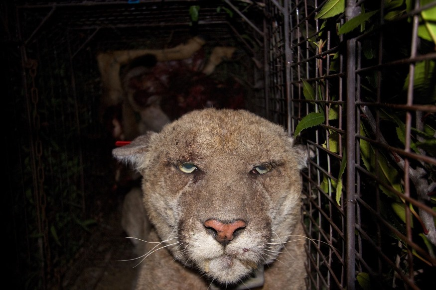 Griffith Park Mountain Lion Exposed To Poison Suffering