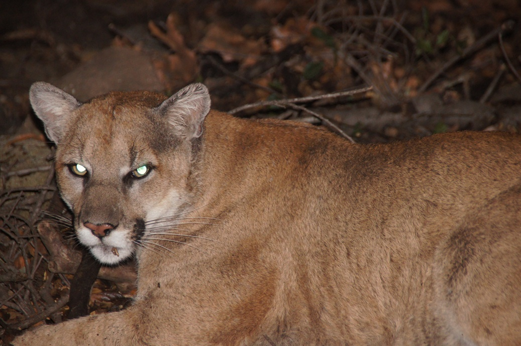 P-22 (adult male mountain lion)