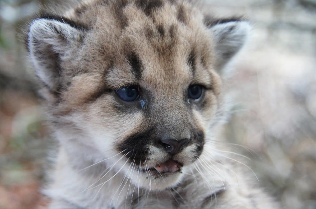 Mountain lion kitten P-32