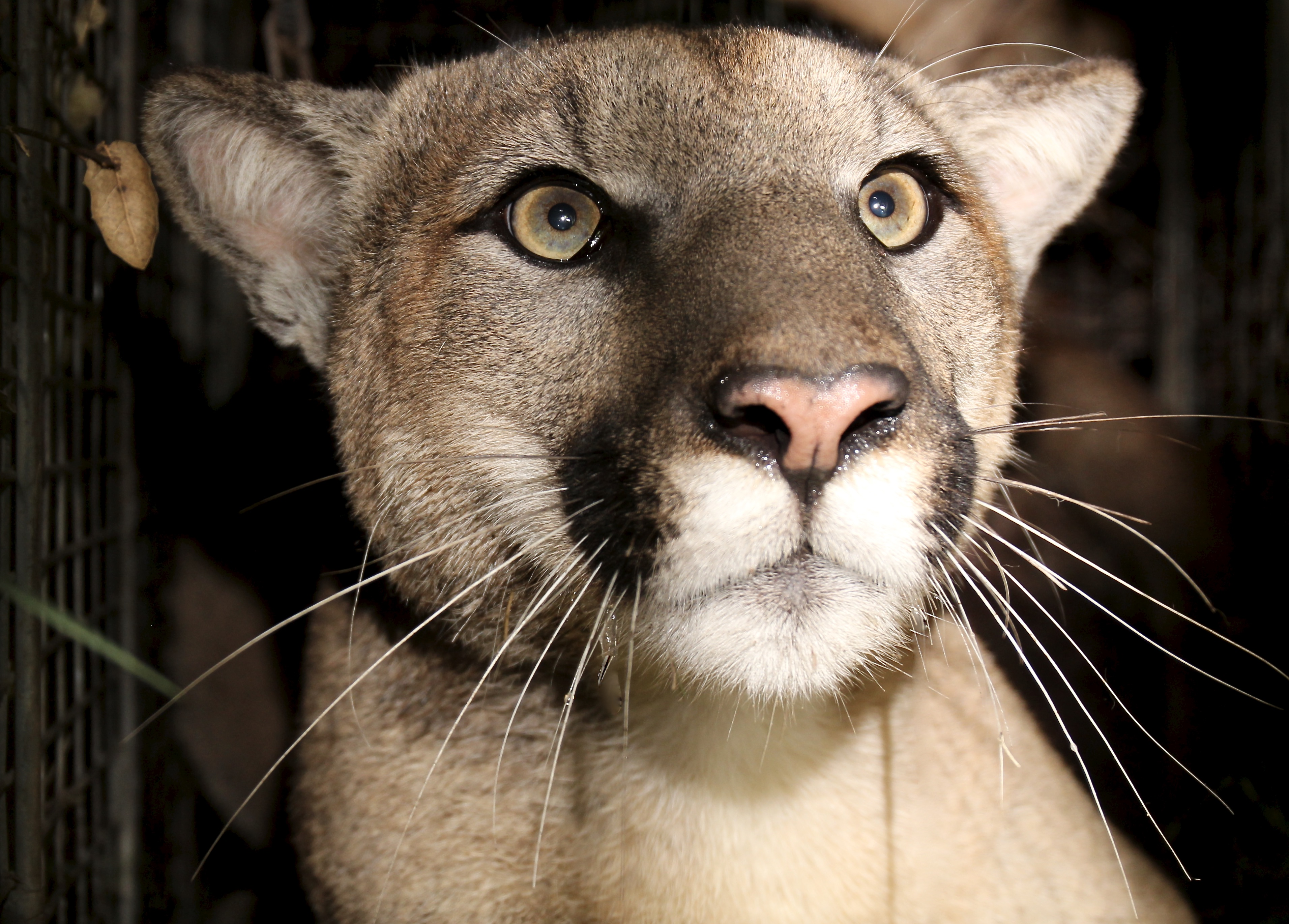 P81, first collared mountain lion to have reproductive and tail defects in Santa Monica Mountains