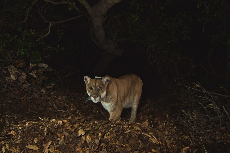 Collared mountain lion P-22 beneath a tree