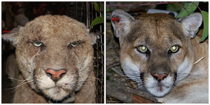 Griffith Park Mountain Lion Appears Healthy Recovered